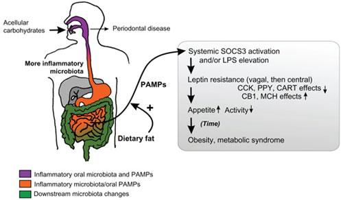 Hipótesis de disbiosis de las microbiotas del aparato digestivo debido a un exceso de ingesta de carbohidratos acelulares, que se arrastra hasta la importante microbiota intestinal
