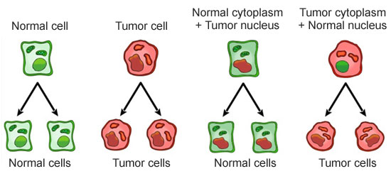 nucelo-citoplasma